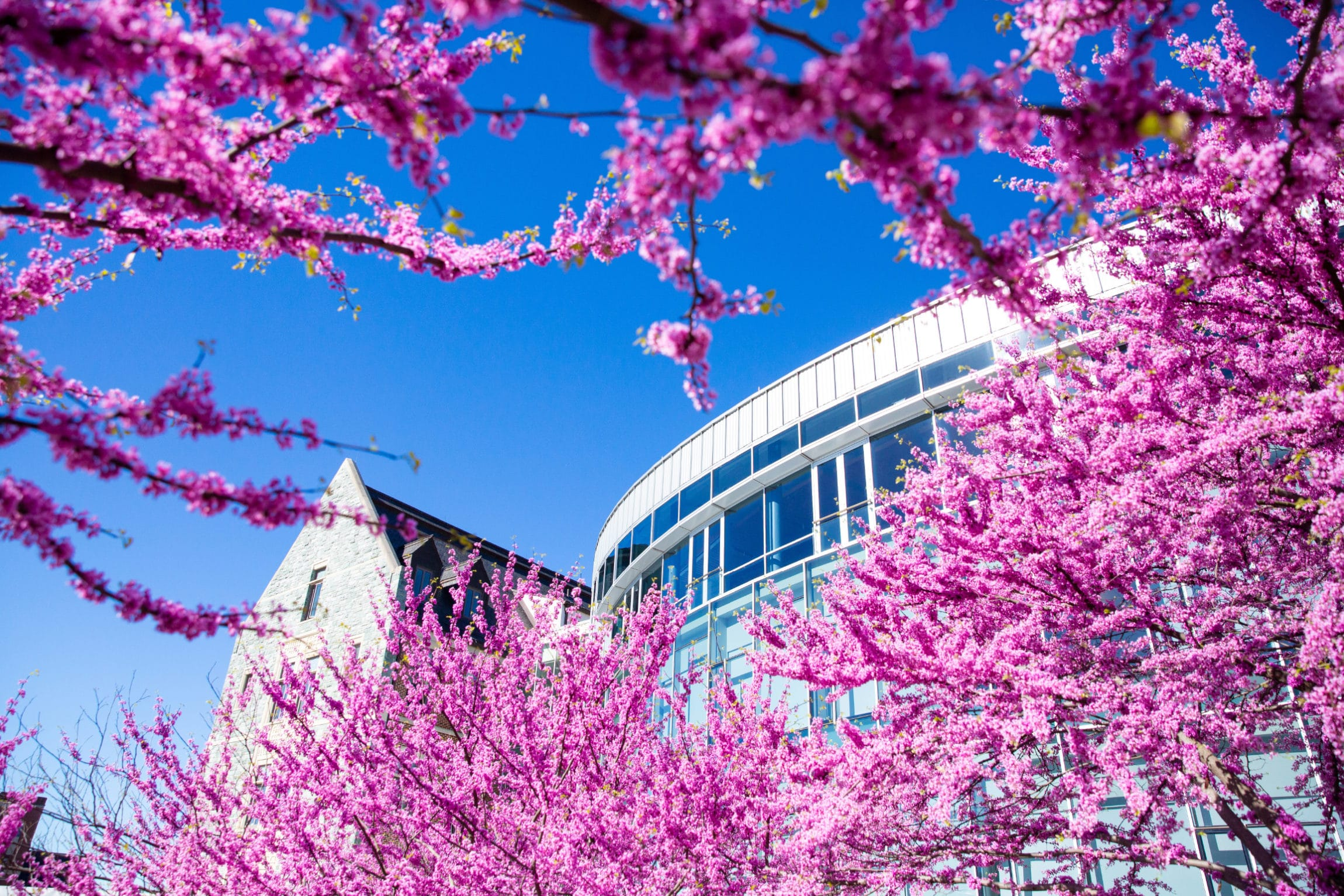 Georgetown business school with cherry blossoms covering the entrance
